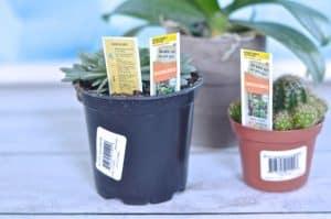 Home Depot Succulents