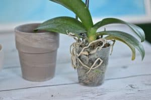 take orchid out of pot and leave in plastic