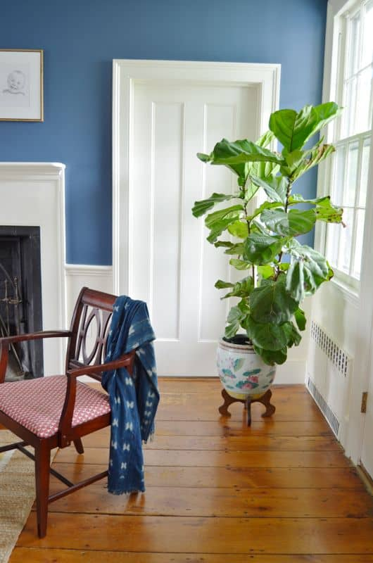 fiddle leaf in dining room