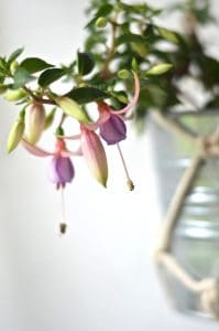 detail of fuchsia plant