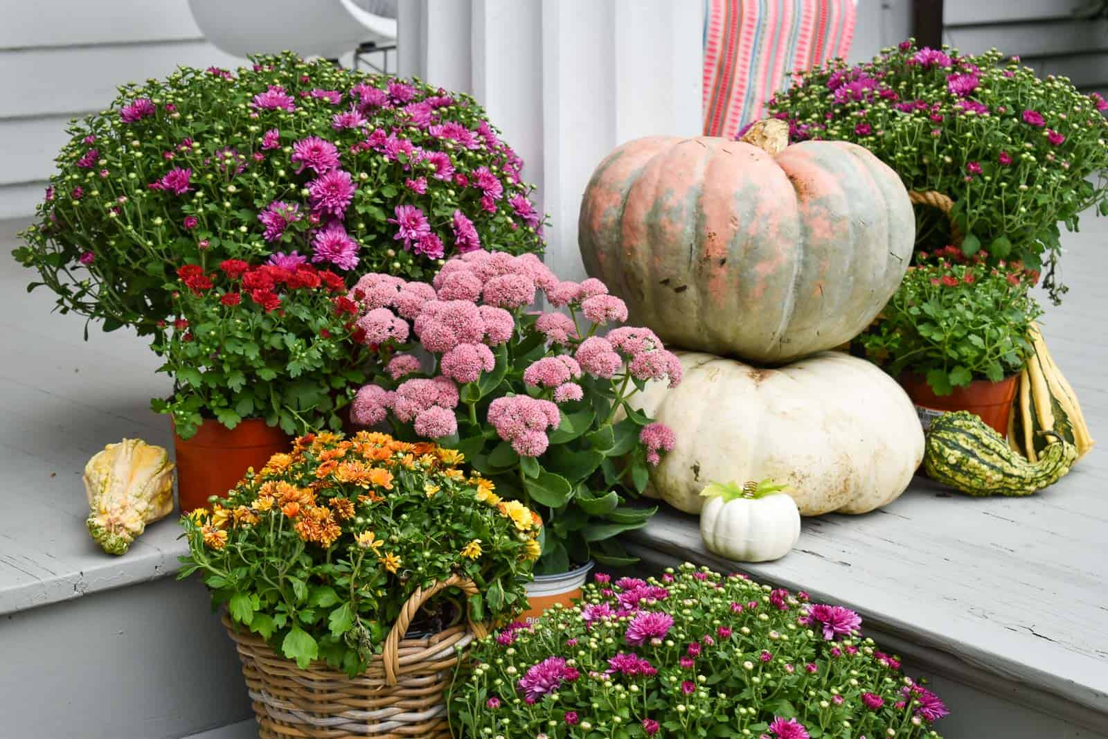 colorful fall mums for front porch