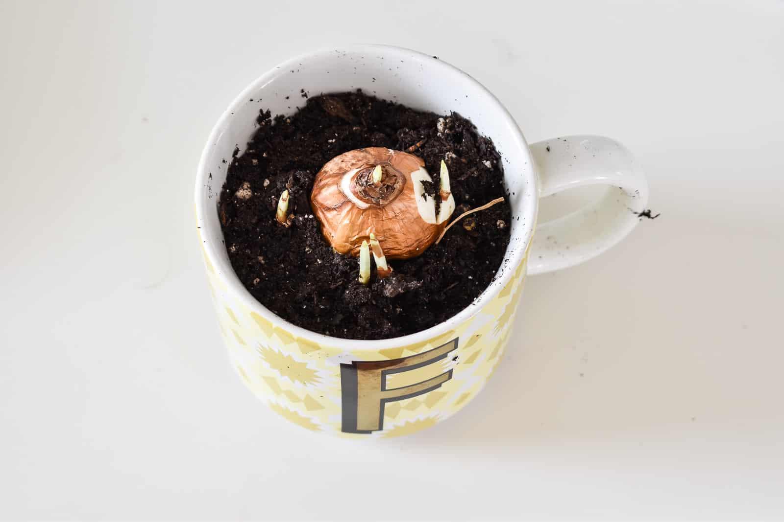 Add bulb to dirt in mug