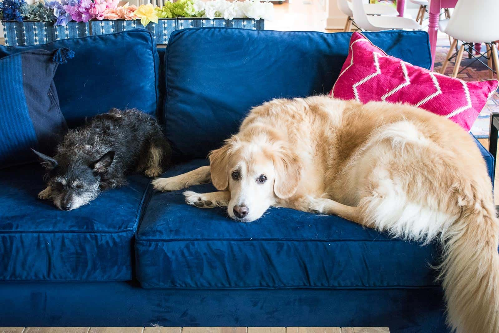 dogs lying on blue couch